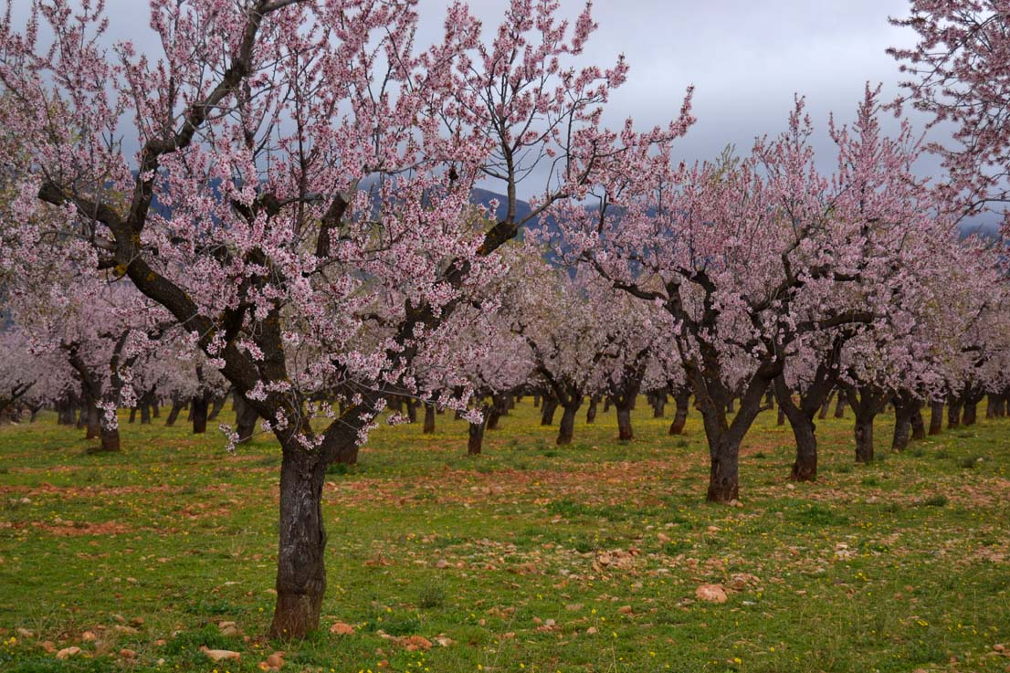 Desplegando primaveras el almendro en flor for Hoya para cocinar